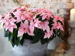 Flores de Princettia