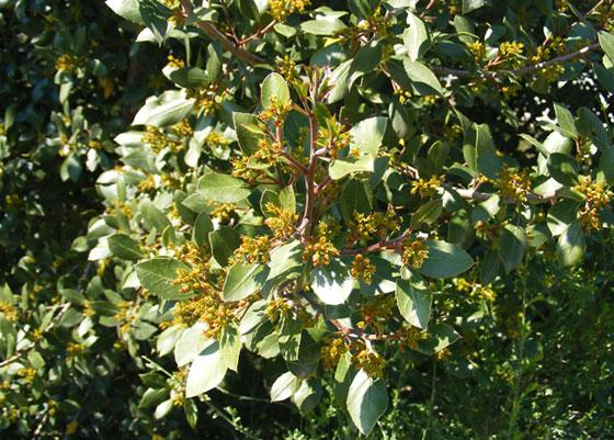 Rhamnus alaternus o Aladierno