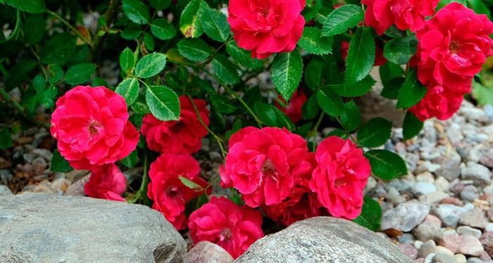 La poda según los tipos de rosales
