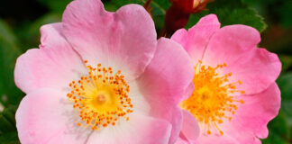 Flores de Rosa canina