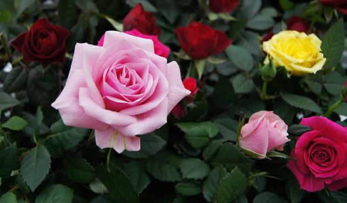 flores de rosas 1