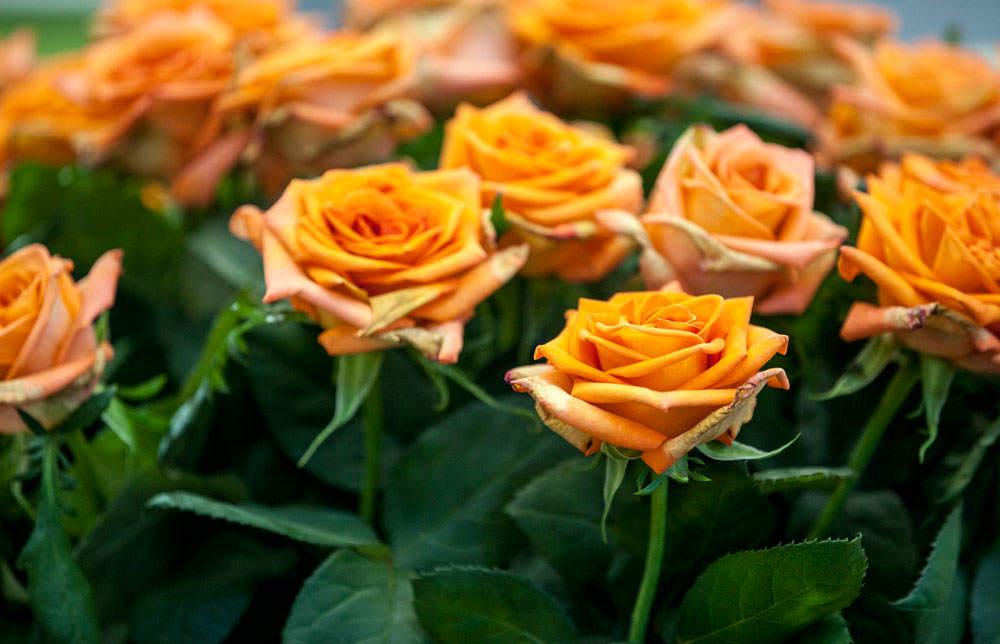 Flores de rosas naranjas