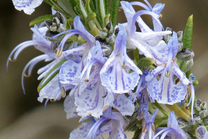 Flores de Rosmarinus officinalis