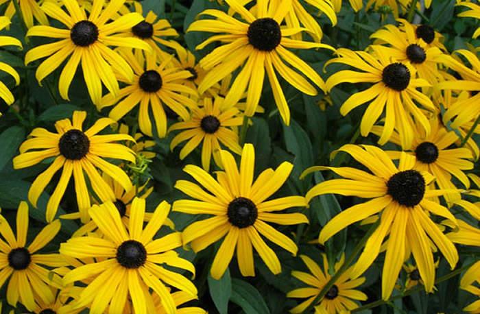 Flores de rudbeckia fulgida