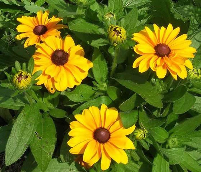 flores de rudbeckia hirta