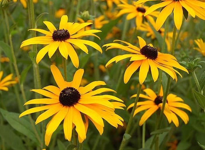 flores de rudbeckia