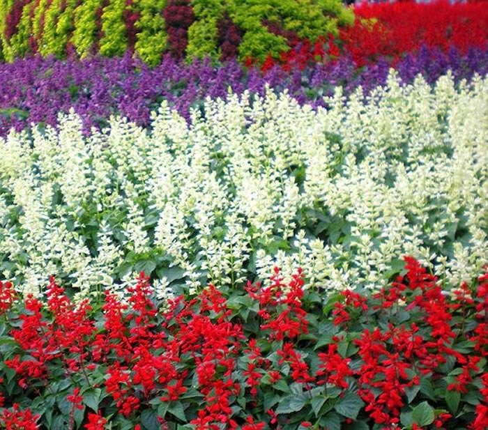 flores de salvia splendens