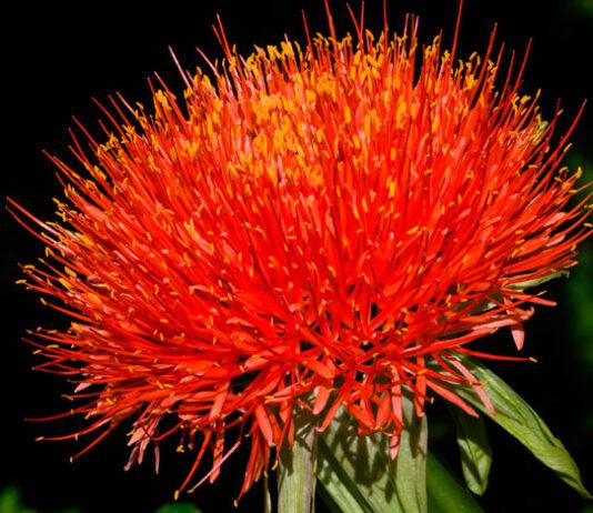 Flores de Scadoxus multiflorus