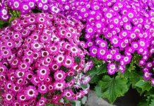 Flores de Senecio cruentus