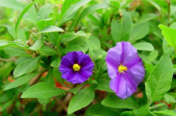 Flores de Solanum rantonnetii