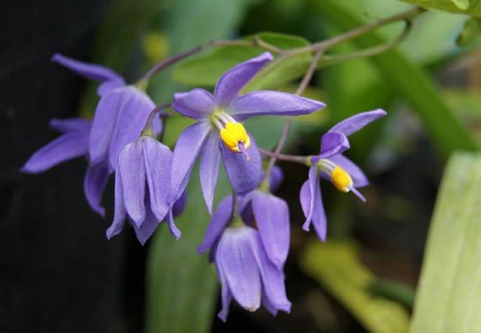 flores de solanum seaforthianum
