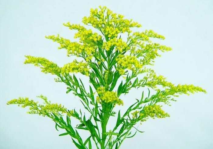 Flores de Solidago