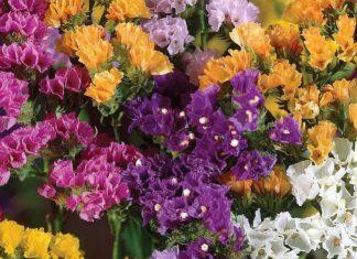 Flores de Limonium sinuatum variados