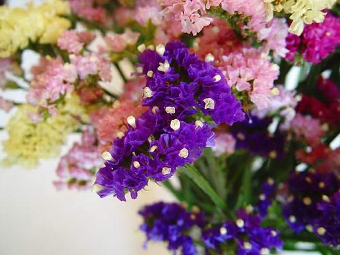 Flores de statice de colores