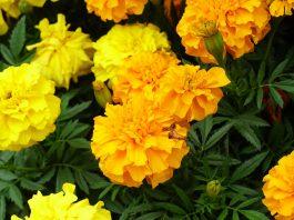 Flores de Tagete