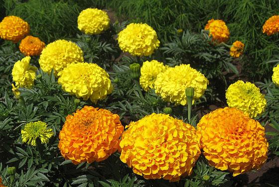 Flores de Tagete erecta