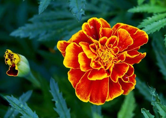 flores de tagete patula