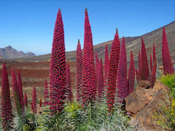 Flores de Echium wildpretii, el Tajinaste rojo