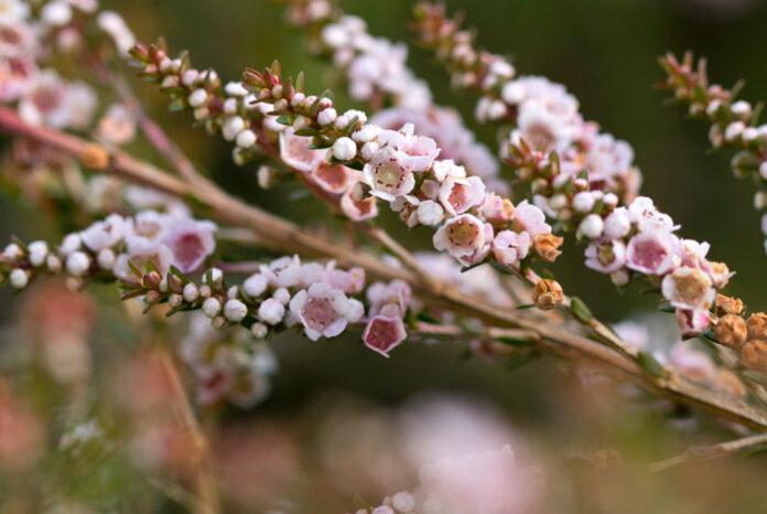 Flores de Thryptomene saxicola