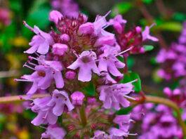 Flores de Thymus serpyllum