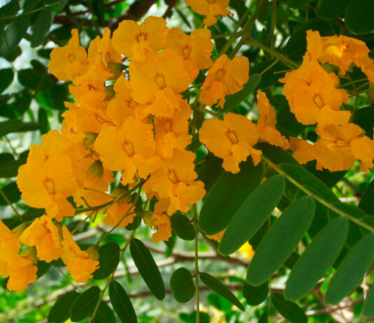 Flores de Tipuana tipu