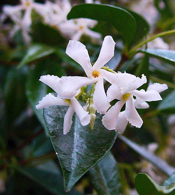 flores de trachelospermum