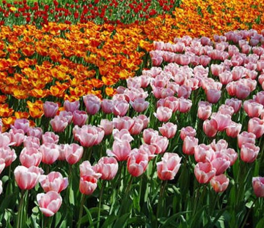 Flores de Tulipan