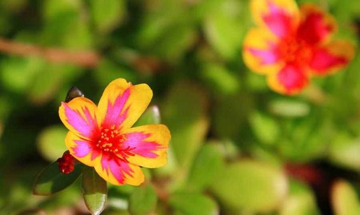 Flores de Verdolaga