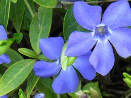 Flores de Vinca minor azules