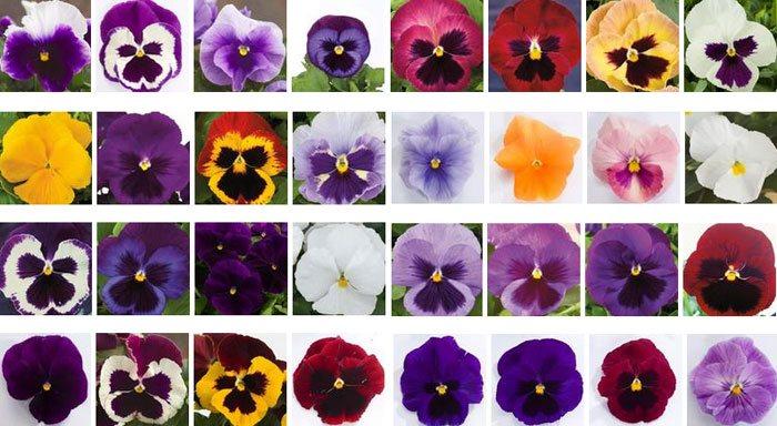 Flores de Viola x wittrockiana