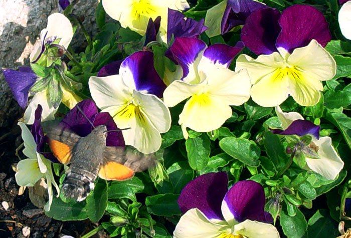 Flores de Violas