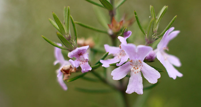 Flores de Westringia fruticosa