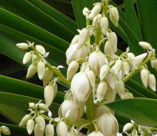 Flores de Yucca gloriosa