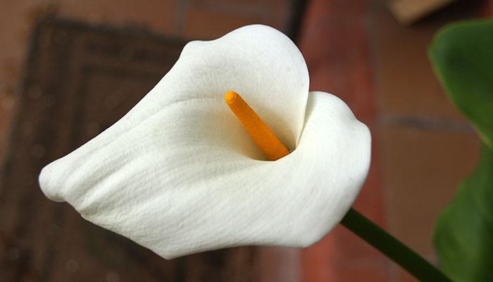 Zantedeschia aethiopica o calla