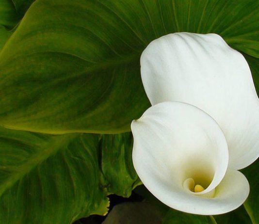 Flores de Cala o Zantedeschia aethiopica