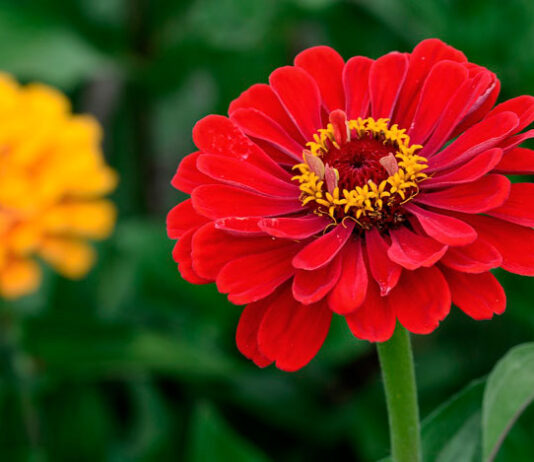 Flores de Zinnia hybrida