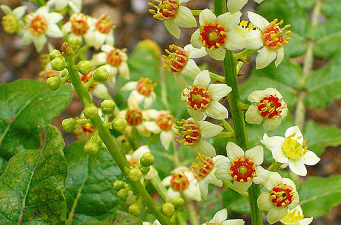 flores del genero boswellia