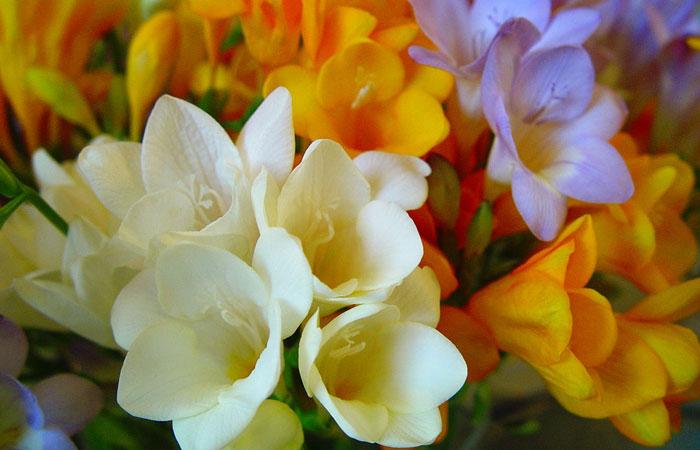 Flores de Fressia