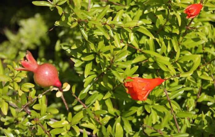 flores y frutos de punica granatum