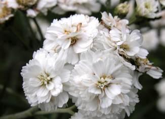 flores gypsophila paniculata