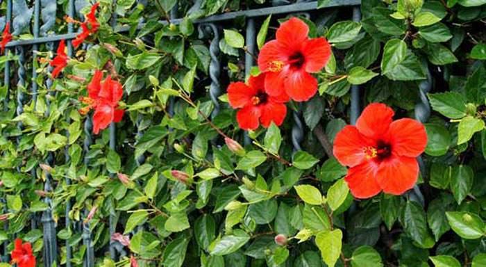 Hibiscus rosa sinensis for Hibiscus arbol