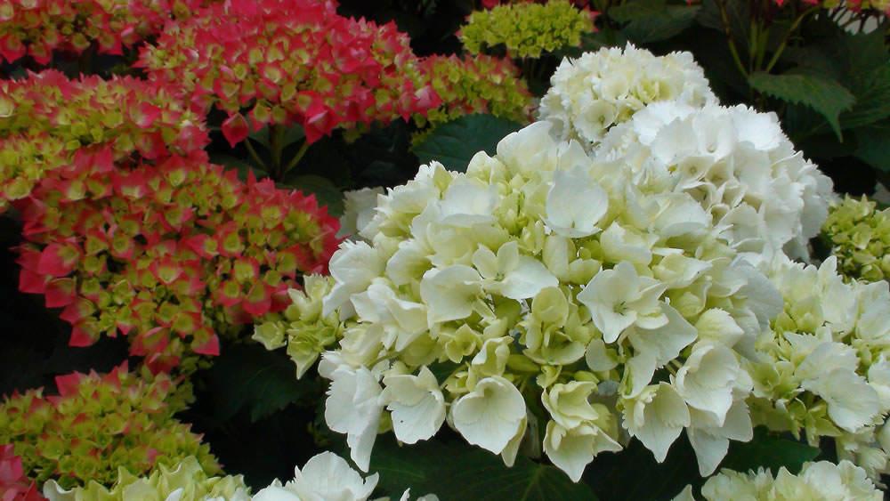 flores hortensias