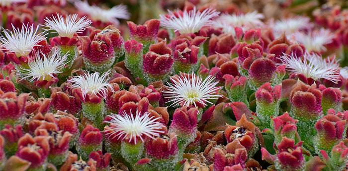 Flores de de Mesembryanthemum crystallinum