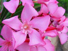 Flores de Nerium oleander