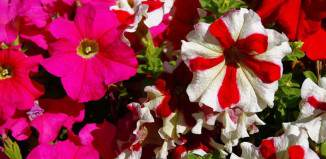 Flores de Petunia hybrida
