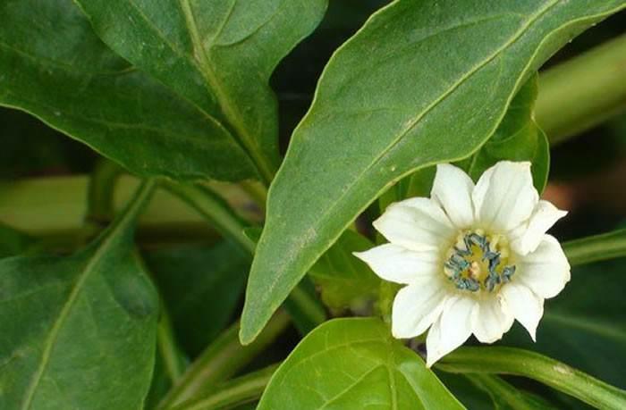 flores de la planta de pimiento
