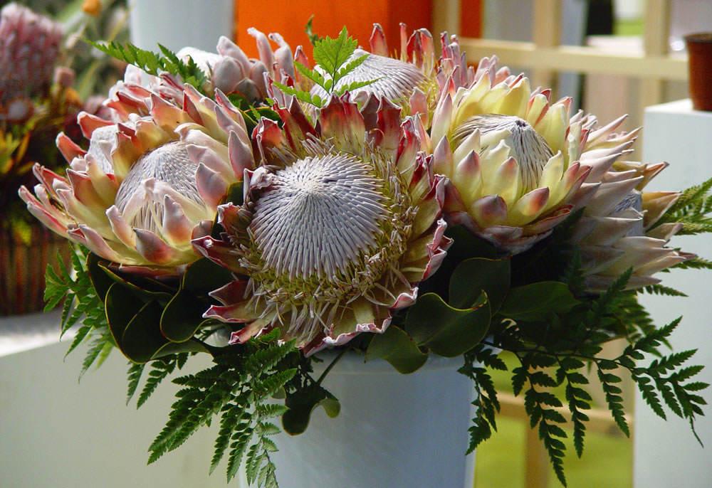 flores proteas 1