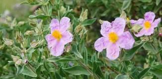 flores rosas de jaras