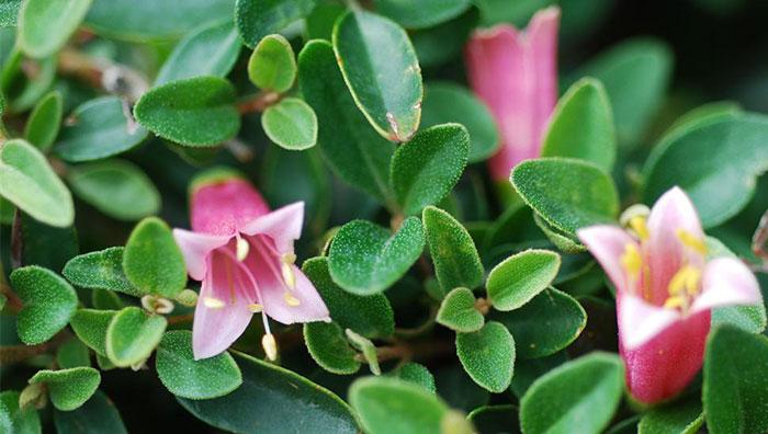 Flores de Correa pulchella