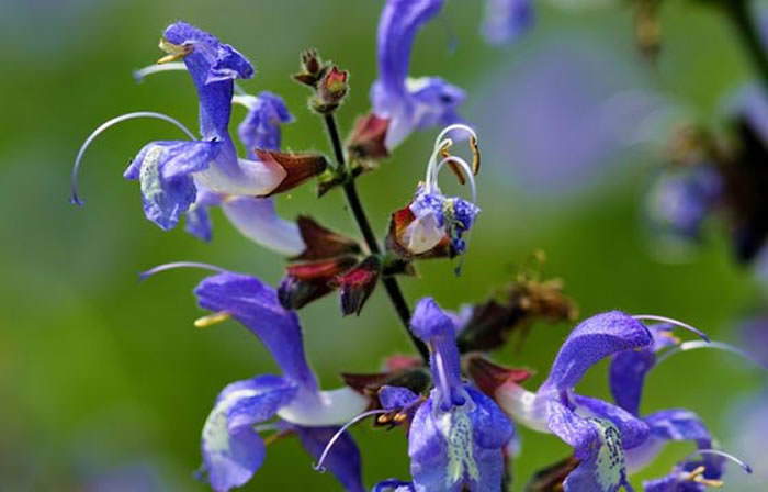 flores salvia officinalis